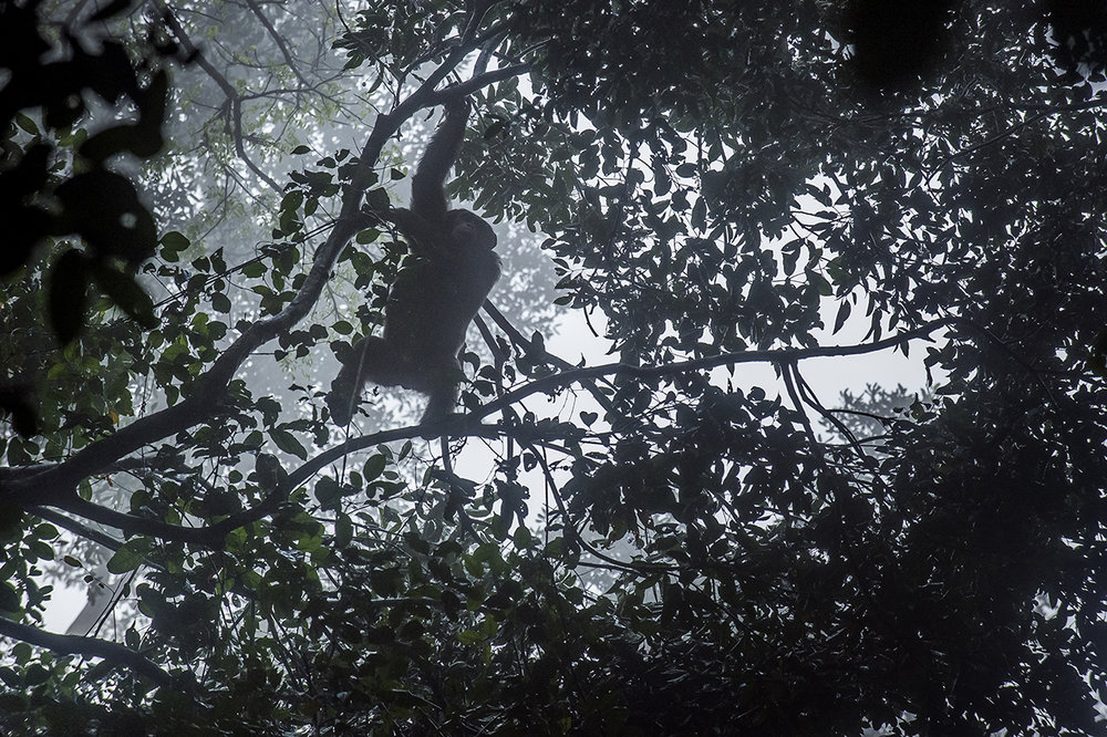 Early morning, in the forest of Tai, a chimpanzee descends from its nest, in a mist due to extreme humidity. To avoid exposure to predators and sleep safely, chimpanzees spend the night in the trees in nests they make daily. A cross of branches and few leaves do the job.  The chimpanzee is closer to man than the gorilla. The human share 98.6% of the same DNA. Taï chimpanzees have an extraordinary and human-like behavior in terms of teaching children, using tools to feed themselves, peacefully resolving conflicts, understanding death, cooperating in hunting monkeys and even for war between neighboring communities.