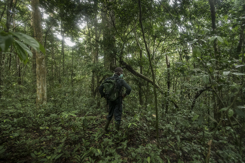 A guide from the Taï National Park stops in the forest and listens. In the distance is the rumbling of chimpanzee fists that strike giant tree roots and even closer the sound of the rustling of leaves. He tries to spot chimpanzees. Like any person entering the primate territory, he wears a surgical mask so as not to transmit animals to human diseases