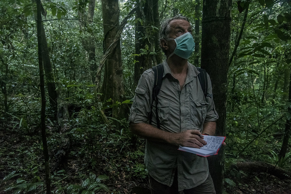 The heat is intense and the humidity suffocating in the rain forest of Tai. Christophe Boesch, a Franco-Swiss primatologist observes and takes notes on chimpanzees traveling in the rainforest in Tai National Park. Like any person penetrating the territory of the primates, he wears surgical mask so as not to transmit human diseases to the animals.  Since 1976, Christophe Boesch has been conducting research in the Taï National Park to better understand the behavior and life of chimpanzees in order to put it into perspective with human evolution, especially with regard to the emergence of cognitive and cultural skills.