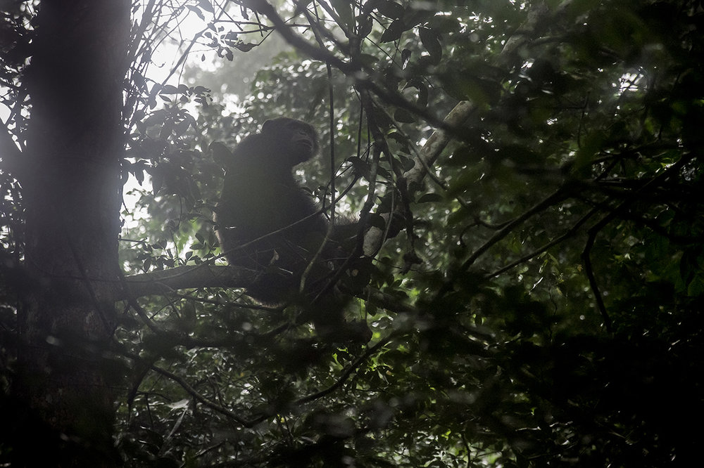 Early morning, in the forest of Tai. A chimpanzee emerges from its nest, observes the surroundings through the mist due to extreme humidity, before going down to the sole to look for food. To avoid exposure to predators and sleep safely, chimpanzees spend the night in the trees in nests they make daily. A cross of branches and a few leaves do the job.  Chimpanzees play an important role in protecting the forest. Because of their long life, their large movements (several kilometers per day) and their consumption of fruits, they ensure a dissemination of the seeds essential to the regeneration of the forest.