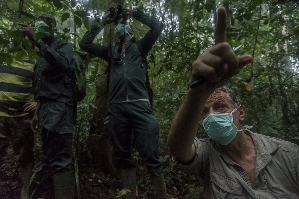 The heat is intense and the humidity suffocating in the rain forest of Tai. Christophe Boesch, a Franco-Swiss primatologist who has been doing research on chimpanzees since 1976, points at eco-guides of the Wild Chimpanzee Foundation (WCF that he created in 2000) the position of chimpanzees. Like any person penetrating the territory of the primates, they wear surgical masks so as not to transmit human diseases to the animals.  To observe them and follow them during the day, it is imperative not to miss their awakening. As a safety measure, chimpanzees spend the night in nests in trees. When they leave their nests, you have to be there because it would be very difficult to find them afterwards. By four o'clock in the morning, Boesch and his team left the camp to witness the rising of the group of Dali, the former dominant male of the group and the oldest of the males.
