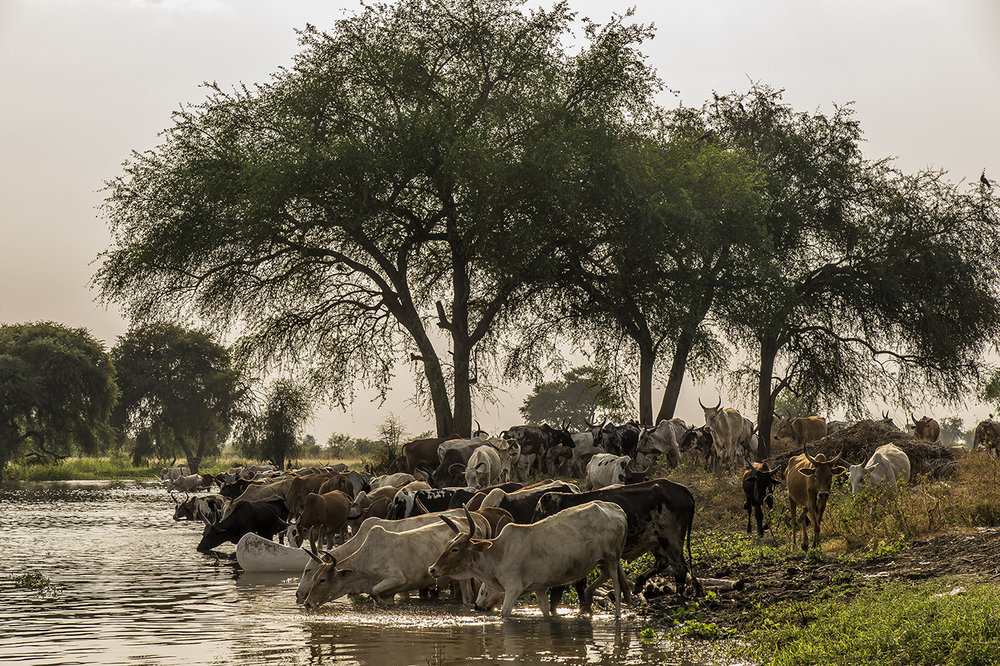 End of the day along the banks of the Pibor River, in the village of Kier. A herd of cows comes to drink. Like many of its pastoral neighbors, the most expensive possession of a Nuer man is his livestock. Life depends on cattle and a Nuer would risk his life to defend them or to grab a neighbor's cattle. The Nuer worldview is built around herds and prestige is measured by the quantity and quality of livestock a man possesses. Men and women take the names of their favorite cattle or cows and prefer to be greeted by their cattle names. While engaged in agricultural activities, caring for cattle is the only job they enjoy. It is said that conversation on virtually any subject will inevitably involve a discussion of livestock.