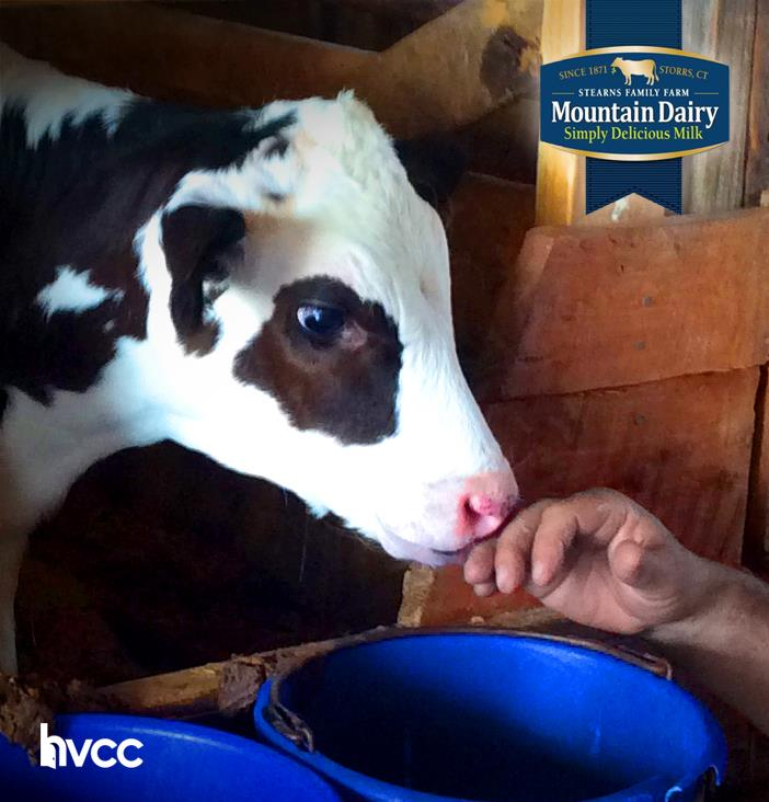 Baby Moo Moo loves her home at Mountain Dairy!