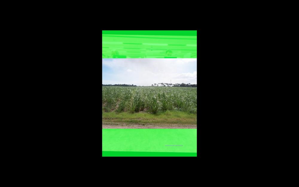 Sugar Cane .png