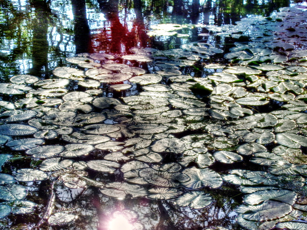 Lily Pads on the Frio!