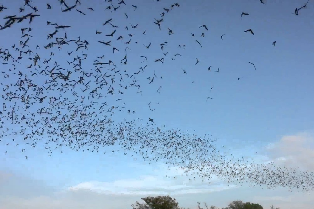 Frio-Bat-Flight-Leakey.jpg