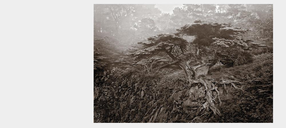 Nobel Cypress