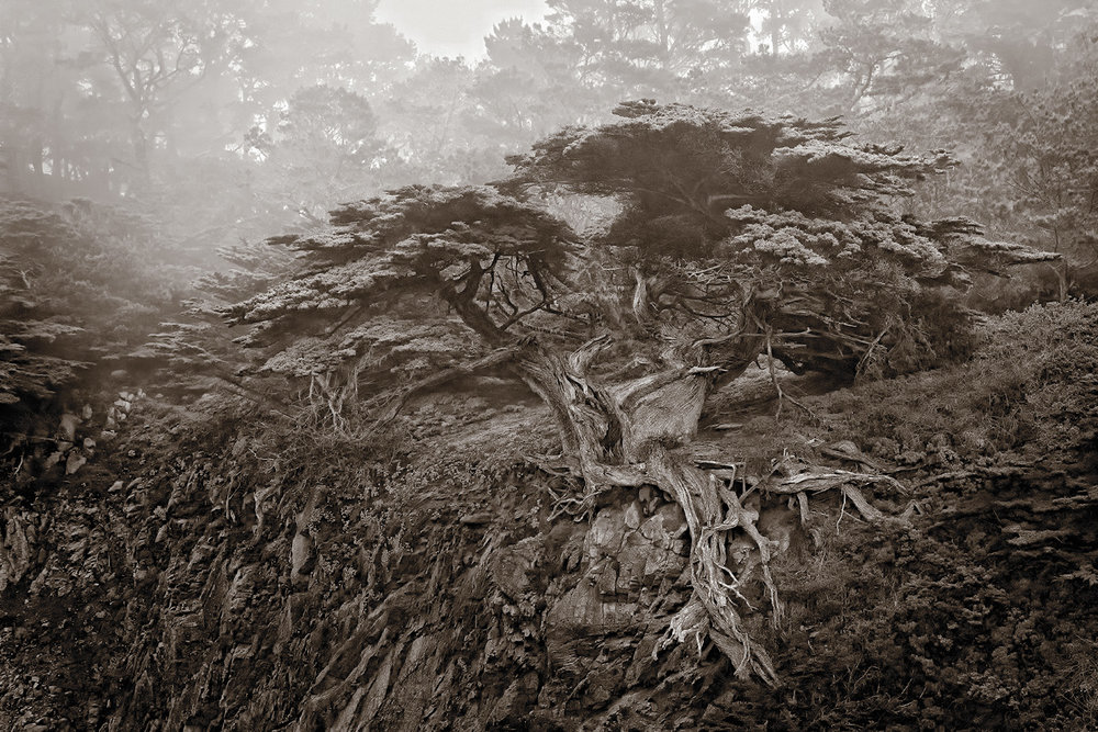 N  oble Cypress