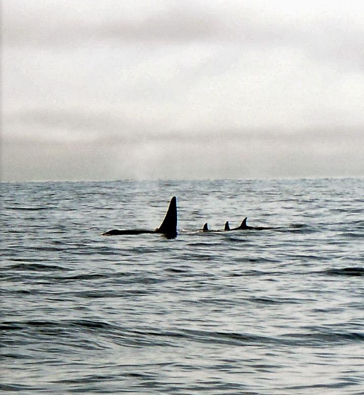 orcas calm sea