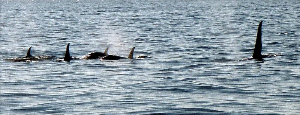 Orcas calm