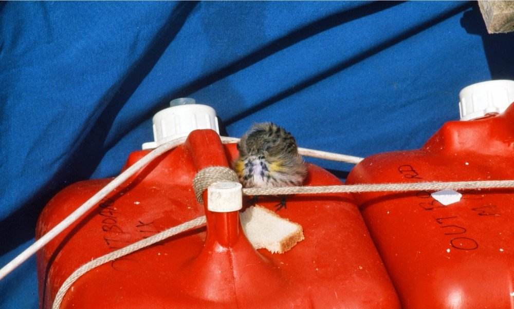 An exhausted and misguided winter wren 60 miles off shore rested and refueled on our spare fuel tanks.