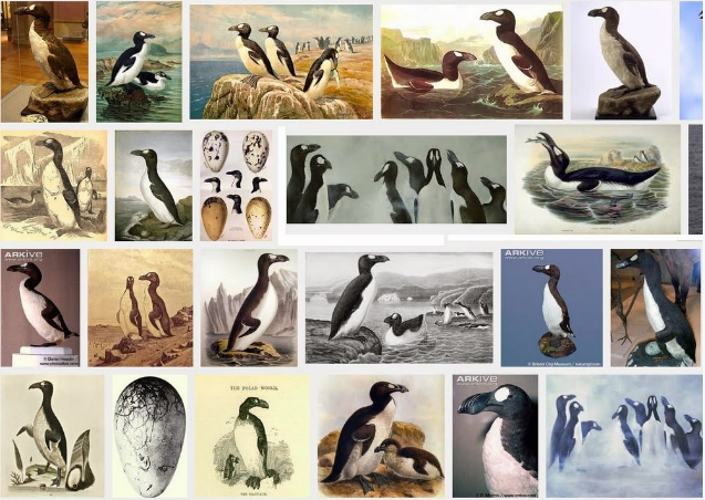 Images of the Great Auk - no photos were ever taken because mankind killed all of them before cameras were invented.  The story of the Great Auk's extinction.