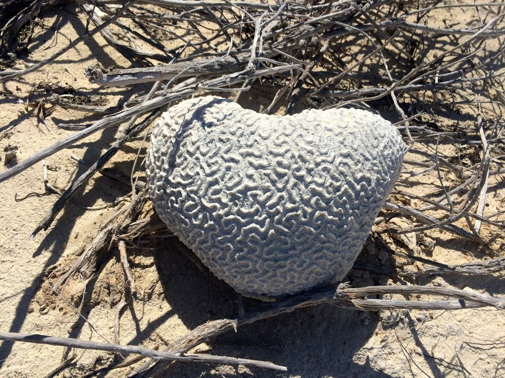 Hearted brain coral from the Exuma Marine and Sea Park