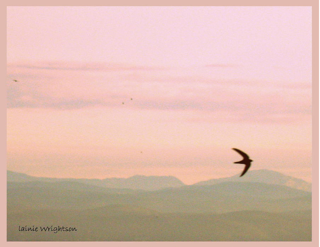 One of Lainie's photos  - a view from her terrace of a swift - a sparrow-like bird with the Alps in the distance.