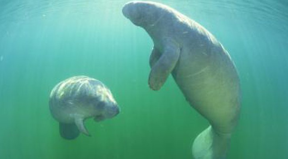 Who protects the Manatees - the gentle giants and sea life? Who protects the sea life from humanity?  fishermen? boaters? speed boats? jet skiers? marine police?  Coast Guard?  environmentalists? nautical nice guys?