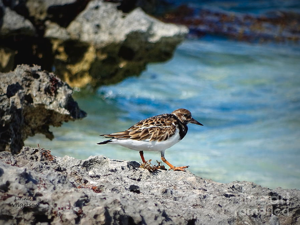 Sandpiper photo by  Lainie Wrightson