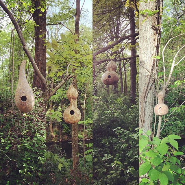 Finally got to hang about 20 of the hundreds of birdhouse gourds coming up the driveway to the farm the other day. One has a nest already. Wren I'm assuming. #birdhouse #birdhousegourd #birdhousegourds #squadgourds