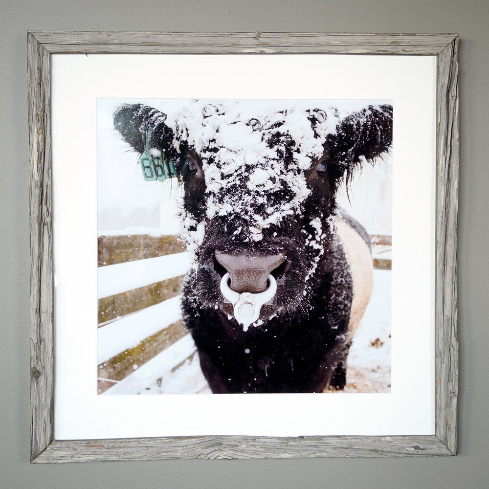 Snowy Beltie - Mitchell Ledge Farm, Freeport - (SOLD)