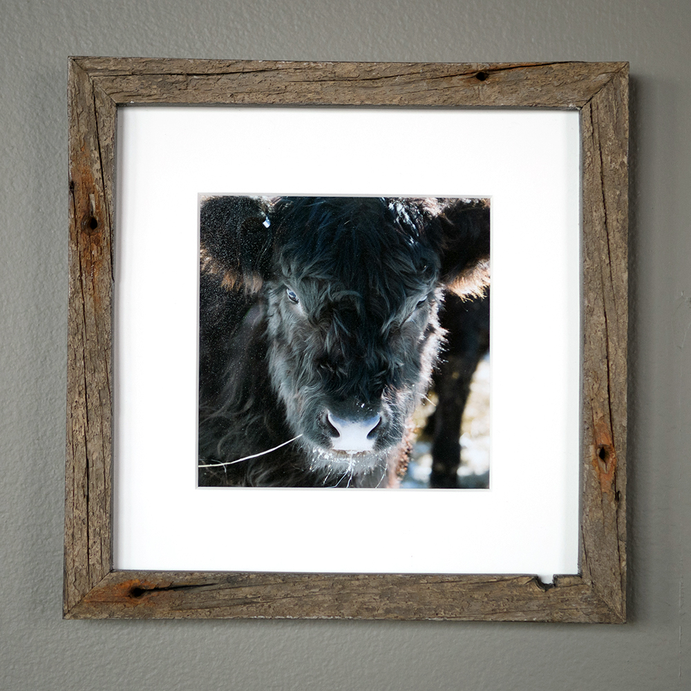 Beltie Heifer - Mitchell Ledge Farm, Freeport