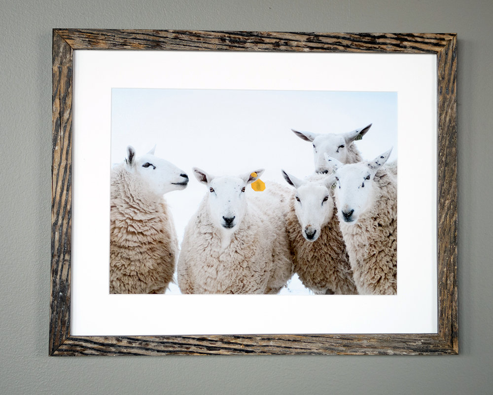 Five Sheep - North Star Sheep Farm, Windham - (SOLD)