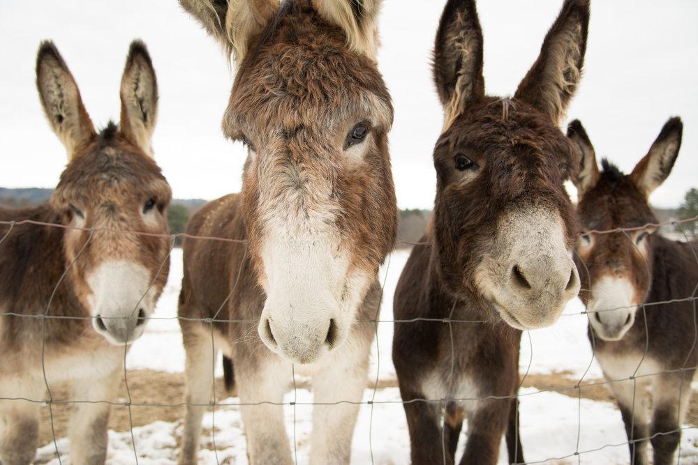 4 donkeys_(c) catherine frost.jpg