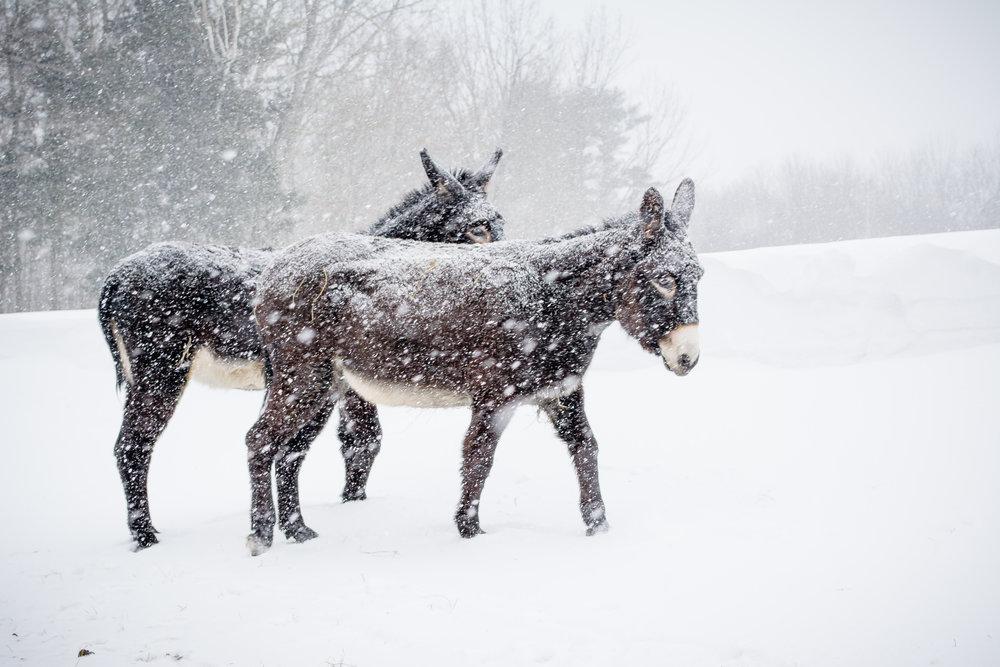 2 donkeys walking_(c) catherine frost.jpg