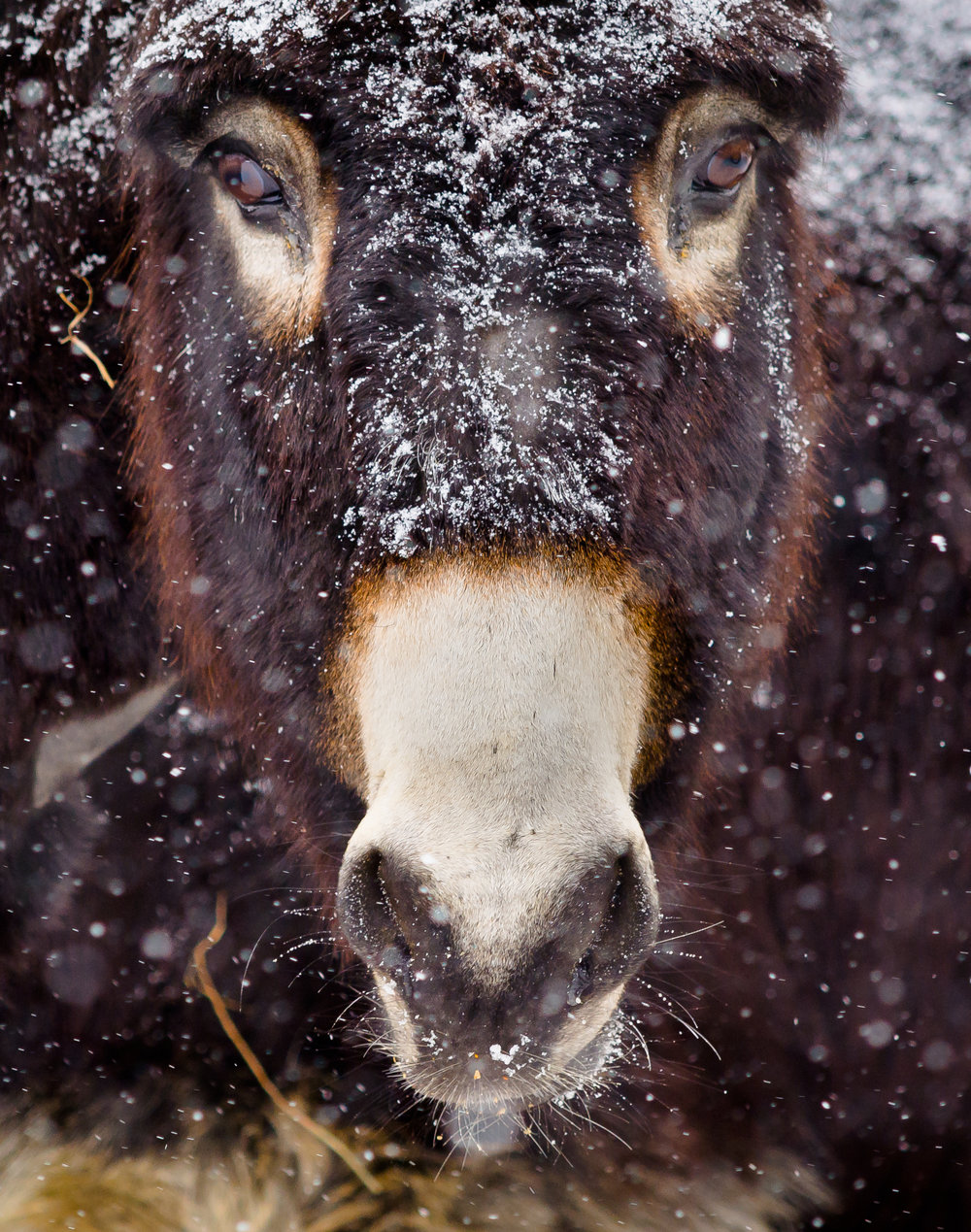 donkey in snow_(c) catherine frost.jpg