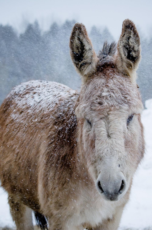 light donkey(c)catherine frost.jpg