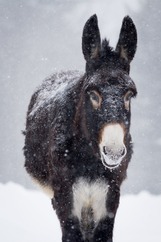 winter donkey_(c) catherine frostjpg.jpg
