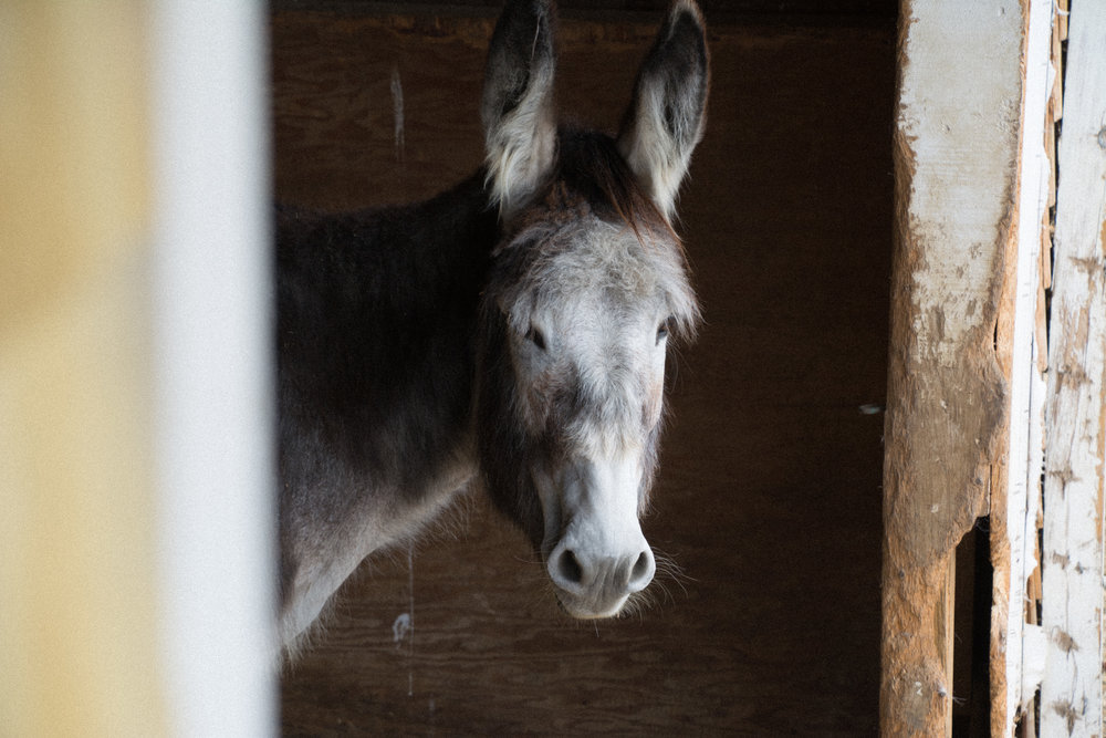 old donkey_(c) catherine frost.jpg
