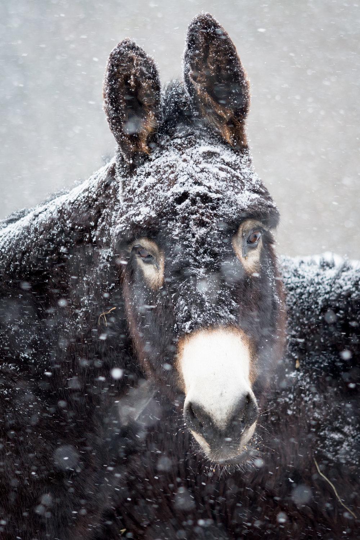 winter donkey2_(c) catherine frost.jpg