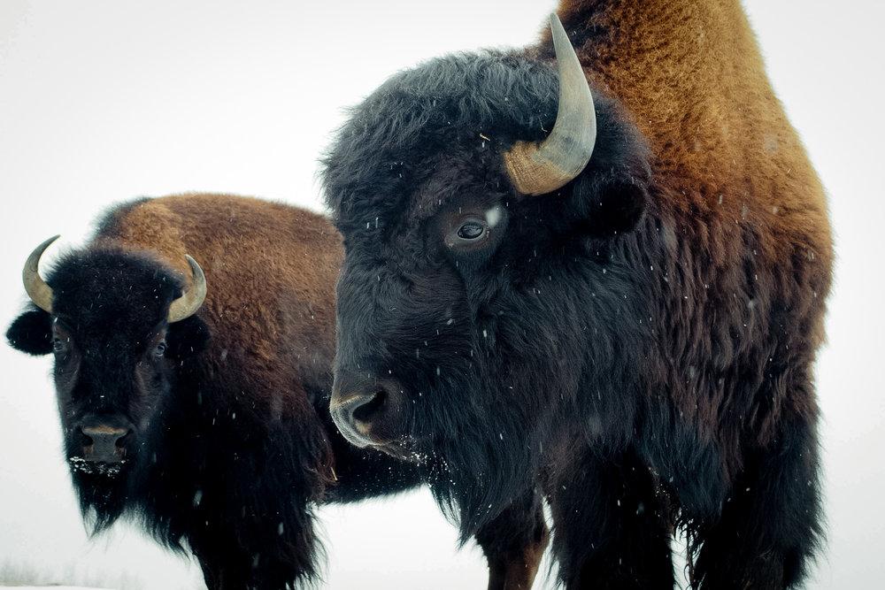 2 buffalos_(c) catherine frost.jpg