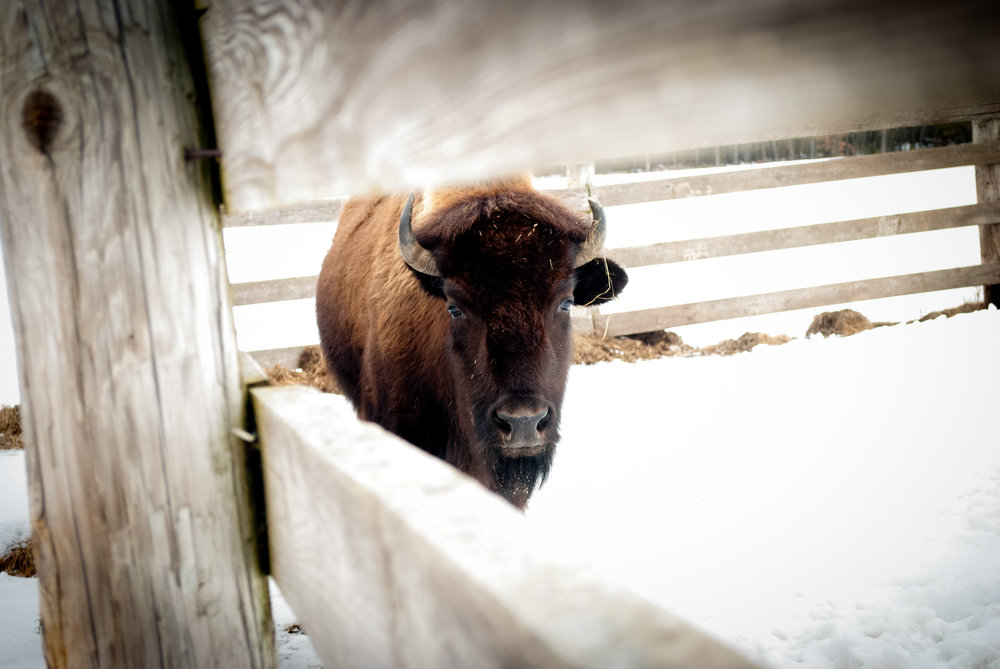 buffalo_(c) catherine frost.jpg