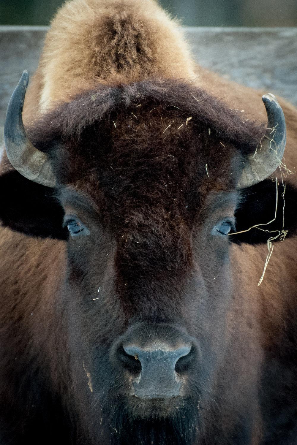 buffalo_1(c) catherine frost.jpg