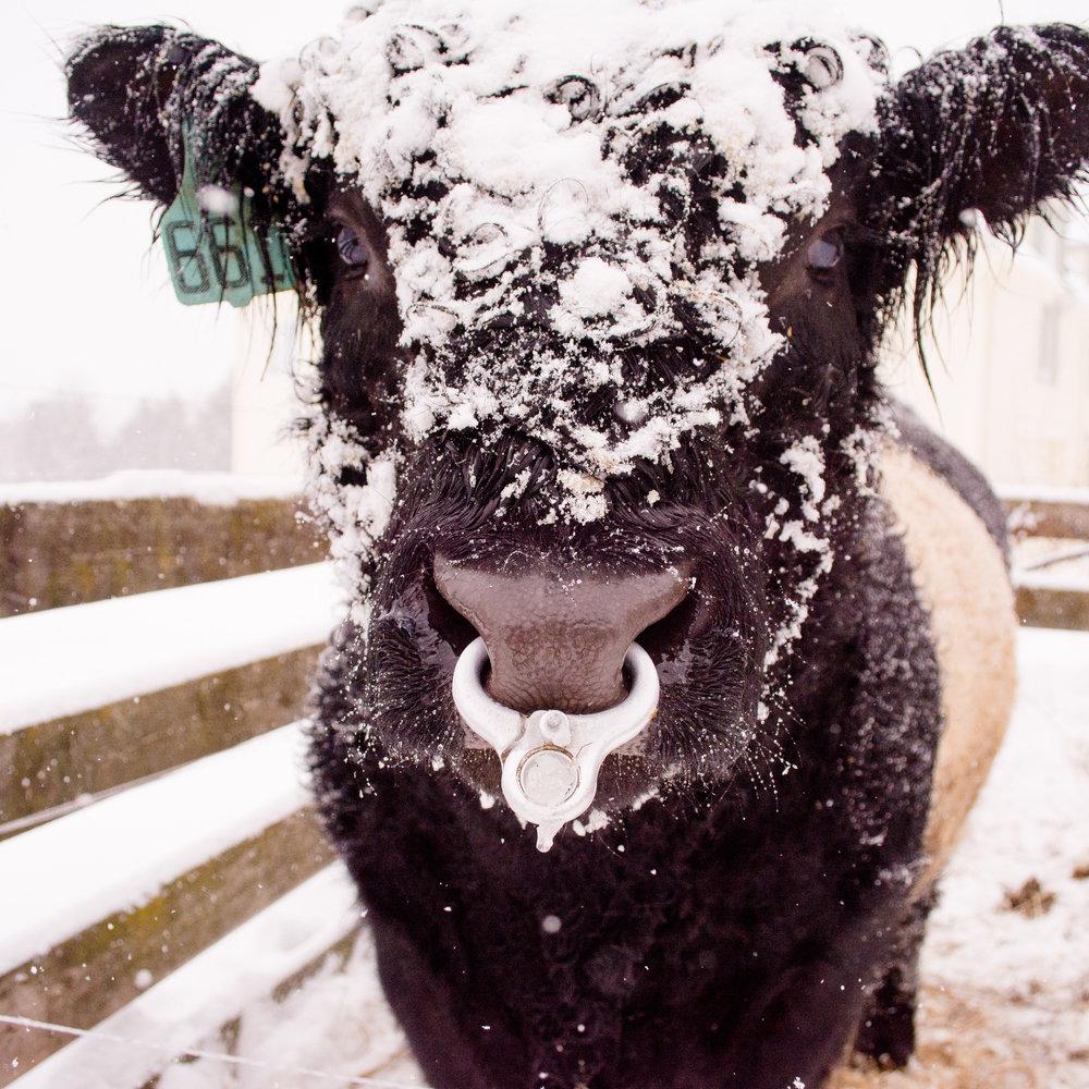 snowy beltie_(c) catherine frost.jpg