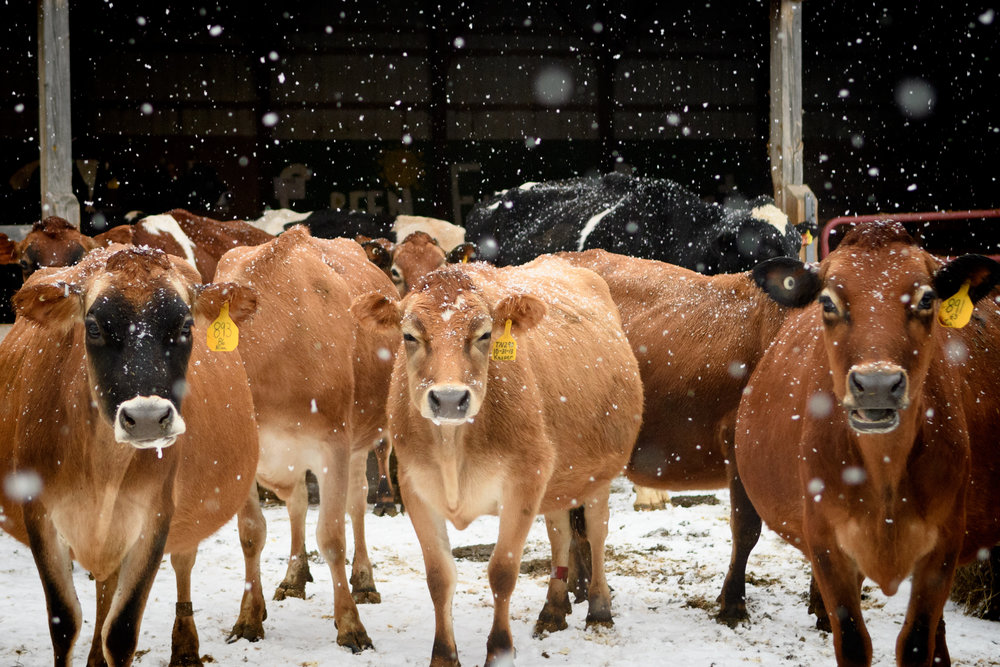 jersey herd_(c) catherine frost.jpg