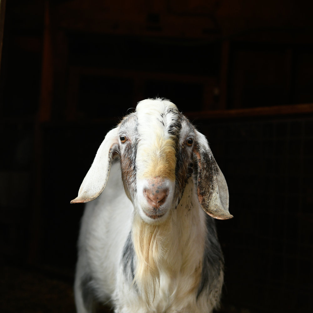 Imagine Dairy Goats Mar 17-23.jpg