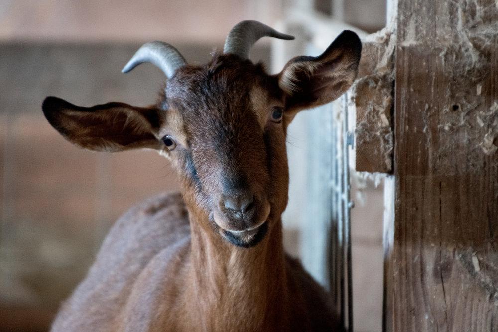 goat 2_(c) catherine frost.jpg