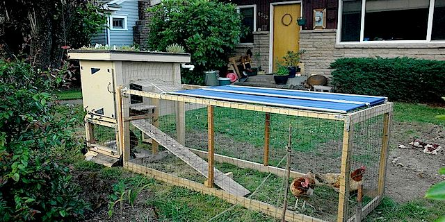 Backyard-chicken.jpg