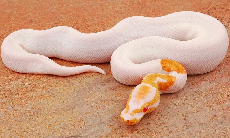 yr2011 Albino Piebald Ball Python PB_775_m.jpg