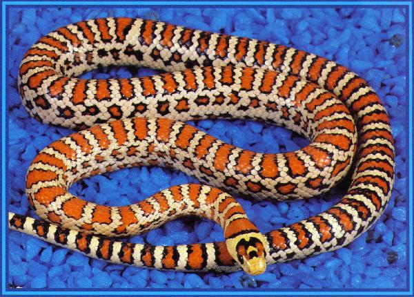 An example of a highly refined 3rd generation Type II  knoblochi  color and pattern morph. This is our primary adult breeding Type II male.