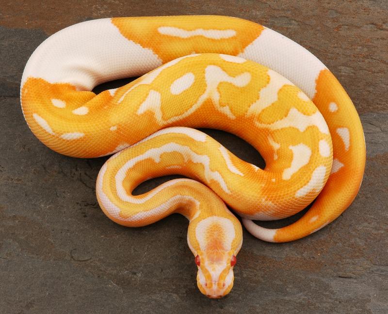yr2012 Female Albino Piebald Ball Python