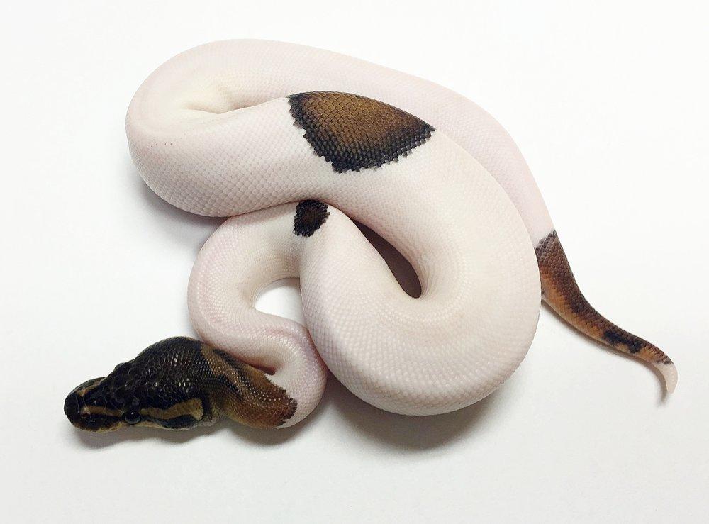 yr2015 Male Black Pastel Piebald PB_1145_m