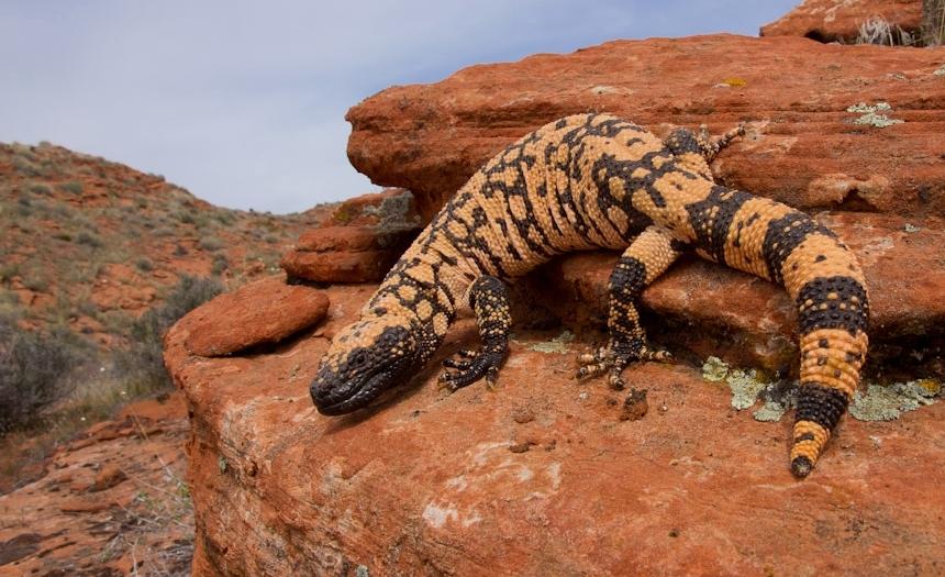 Utah Banded Gila Monster Habitat #1.jpg