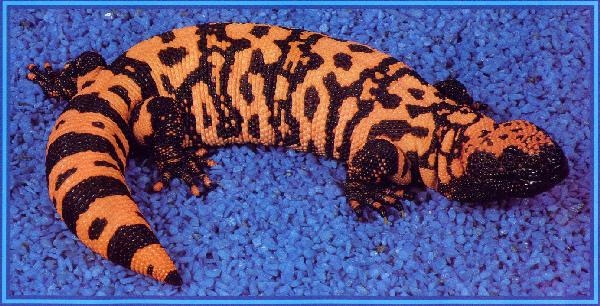 Adult Arizona Reticulated Gila Monster