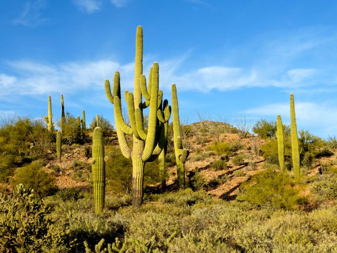 Saguaro habitat just outside Wickenburg, Arizona