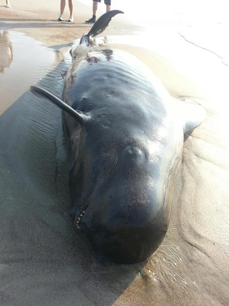pilot whale hilton head