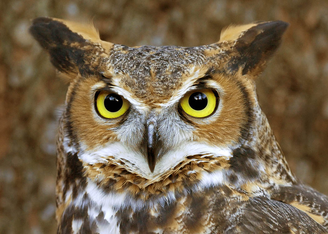 Great_horned_owl_face