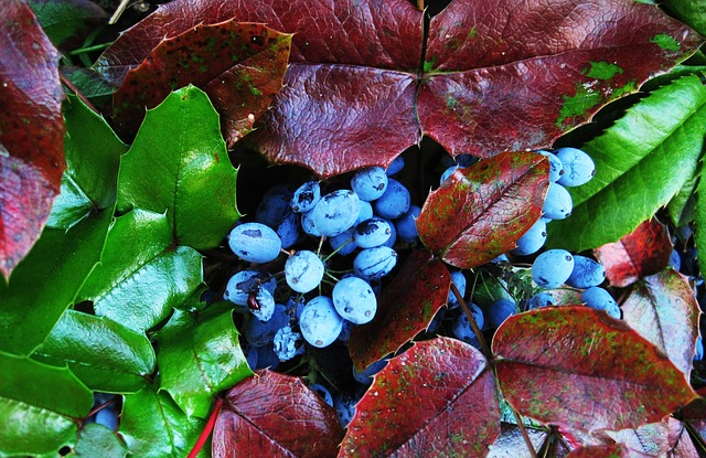 the-oregon-grape-berries.jpg