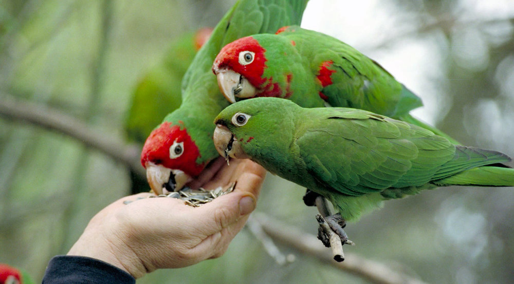 wildparrots copy.jpg